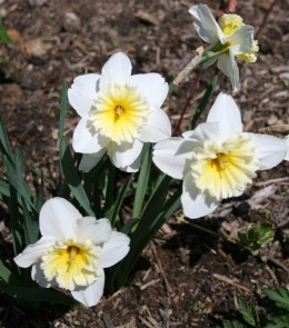 Everyone has a favorite. Mine are creamy white and pale yellow narcissus.