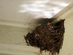 The Return of my Beautiful Barn Swallows