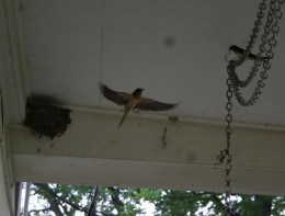 The parents take turns feeding their young.  Here  you'll see one in flight and the other on the front porch swing link chain