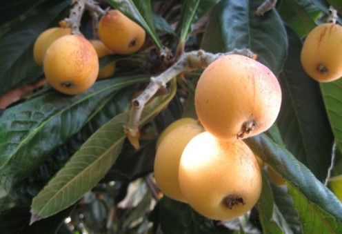Loquats grow in clumps on fuzz-coated branches.