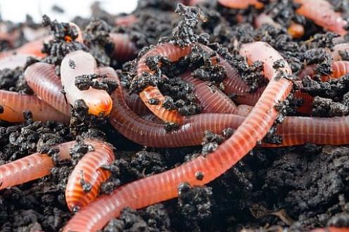 """Eisenia Fetida aka The """"Red Worm"""""""
