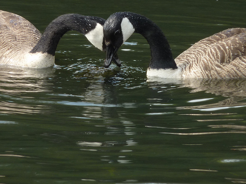 Geese in Love. Photo by Johny Biggs (Flick)