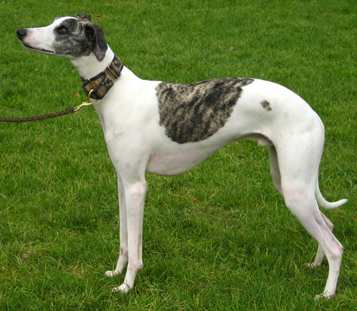 Whippet Dog. Picture from Google Images
