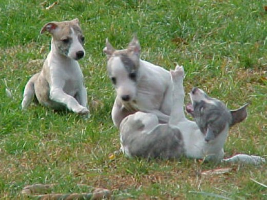 Whippet Puppies at Play.  Picture from Google Images