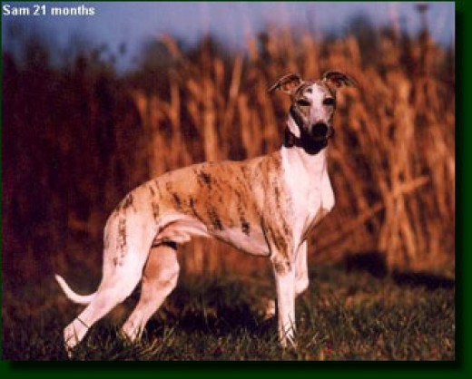 Whippet on the Hunt.  Picture from Google Images
