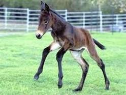Baby Mule.
