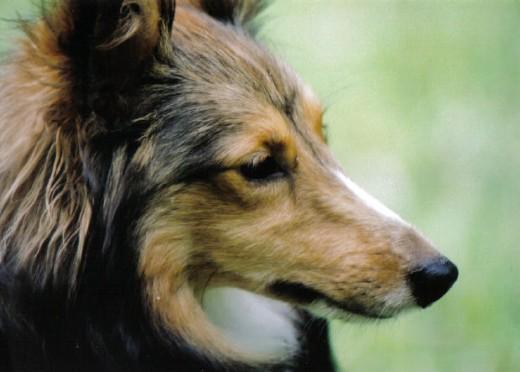 adorable shetland sheepdog