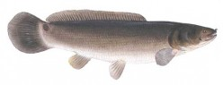 The Bowfin Or Grindle.