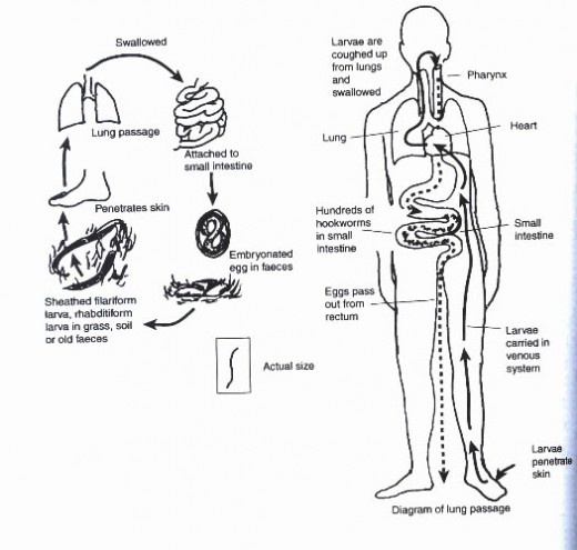 Transmission of Hookworm in the Human Body
