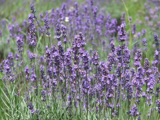 Lavender flowers in Kashmir on the way to visit Lord Shiva's Amarnath cave.