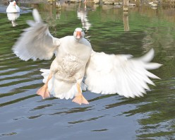 Pictures of Birds: Embden Goose in Flight