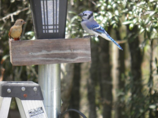 blue jay and a red bird sharing food at the trough
