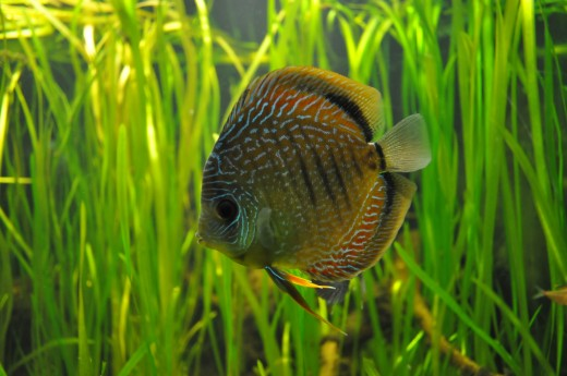 Discus are sensitive fish that benefit from a quarantine period in a hospital tank.