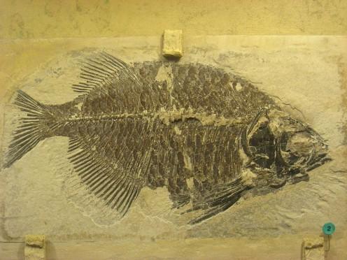 Phareodus testis fossil