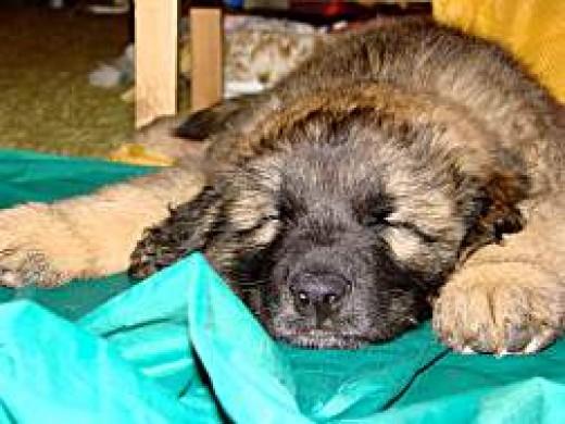 Being a puppy is hard work!