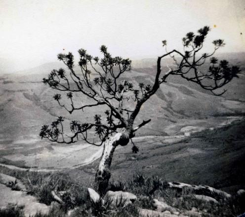 A mountain protea, also c 1957