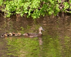British Birds: Straight From The Egg:  Mallard Ducklings