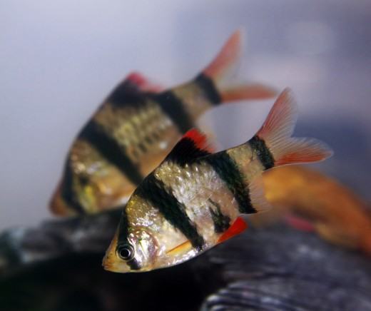 Pair of Tiger Barbs
