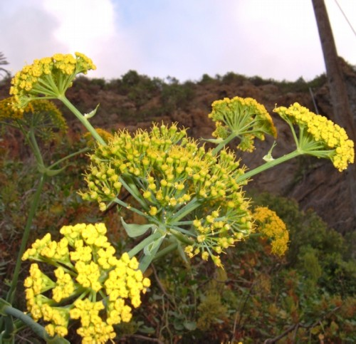 Canary Island Giant Fennel (Ferula linkii). Photo by Steve Andrews