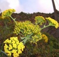 Tenerife herbs: Canary Island Giant Fennel looks like Fennel but is much bigger