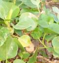 Canary Islands herbs: Canary Island Sorrel or Vinagrera
