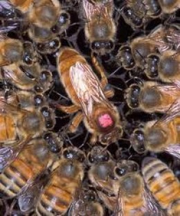 a queen bee communicating with her workers