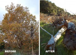 "Wanton destruction of acres of native California oaks for ""flood control."""