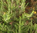 Tenerife herbs: Tree Heather, Tree Heath or Brezo