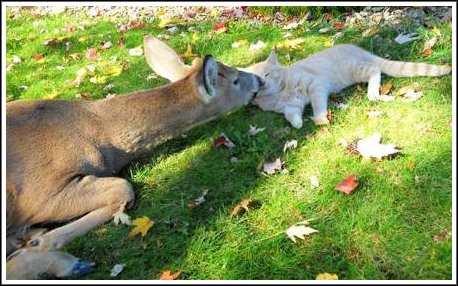A Harrisburg, Pennsylvania resident reports that her cat has struck up a friendship with a local deer. Every morning, the deer visits the cat and they groom each other. (Courtesy of LoveMeow.com)