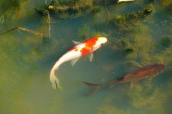 Koi and Other Pond Fishes: Compatibility With Goldfish