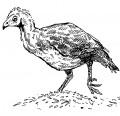 Dusky Scrubfowl: Nest Mound-Builder Bird from Indonesia