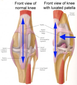 The patella, or kneecap, is part of the stifle joint (knee). In patella luxation, the kneecap luxates, or pops out of place, either in a medial or lateral position. Click to see full size