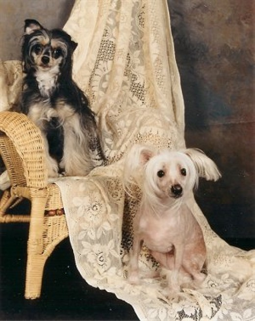 Powderpuff and Hairless Versions of the Chinese Crested