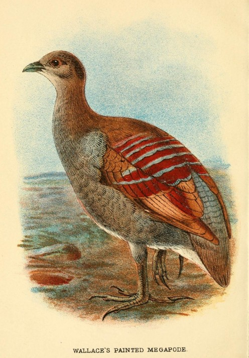 Original antique 1897 print. Purchase at left below. Moluccan Scrubfowl, also known as Wallace's or Painted Megapode.
