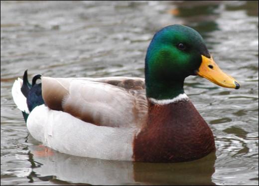 Like water off ducks back