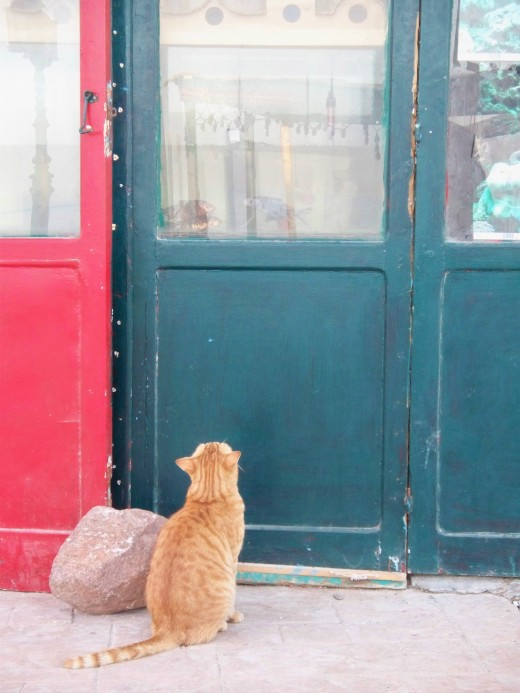 A hungry cat eyeing an aquarium in Dahab, Egypt