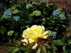 Rose in sun,  hydrangea in shade.