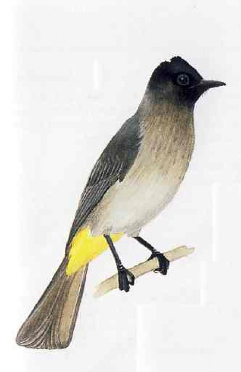 "Black Eyed Bulbul. From Kenneth Newman's ""Birds of Southern Africa"""