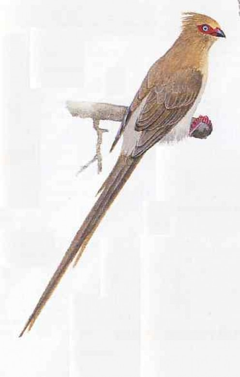 "Red-faced Mousebird. From Kenneth Newman's ""Birds of Southern Africa"""