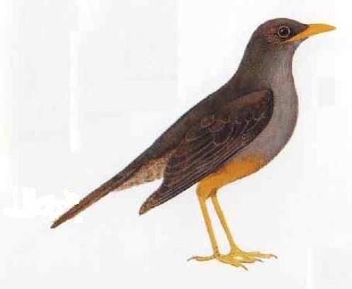 "Karoo thrush. From Kenneth Newman's ""Birds of Southern Africa"""