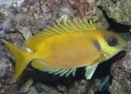siganus fish
