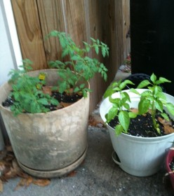 Container gardening: tomatoes and green bell peppers