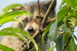 The Best Homemade Peach Brandy Recipe~The Reluctant Peach Tree and A Baby Raccoon