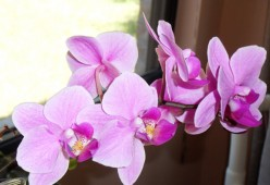 Orchid (miltroniopsis) - Symbol of Love, Luxury and Beauty
