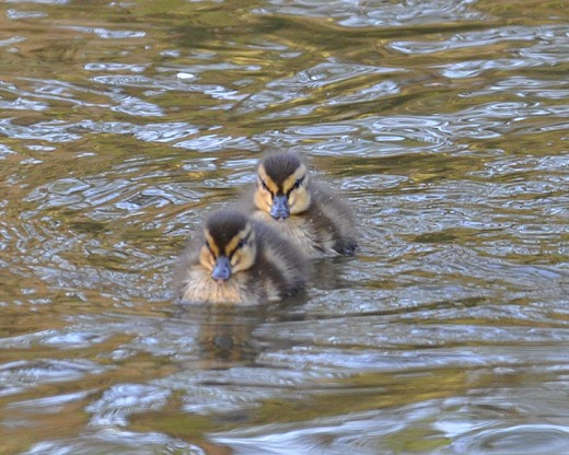 Day old mallard ducklings