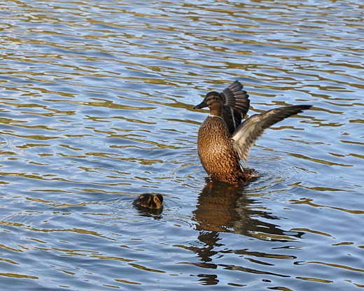 Female mallard takes a stretch - with duckling