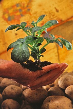 How To Grow Potatoes In Containers With Videos