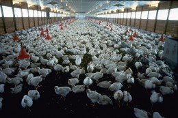 Crowding is the reason for antibiotics in chickens Profit is the reason for crowding