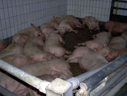 Maybe these dead swine didn't get enough antibiotics
