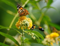 Bumble Bees and a Monarch Butterfly on a Flower